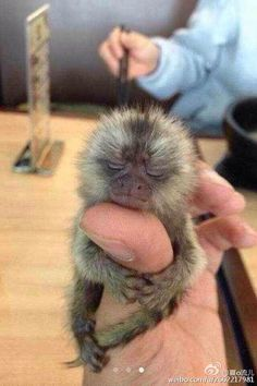 If ever there was a thing I coveted more in life, it's a thumb monkey. Just my luck, owning one is illegal, unethical and not exactly good for the monkeys. Tiny Baby Animals, Baby Animals Pictures, Super Cute Animals, Cute Little Animals, Cute Funny Animals, Zoo Animals, Tiny Monkey, Cute Baby Monkey, Pet Monkey