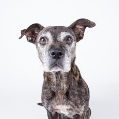 Peggy is an adoptable Pit Bull Terrier searching for a forever family near Decatur, GA. Use Petfinder to find adoptable pets in your area.