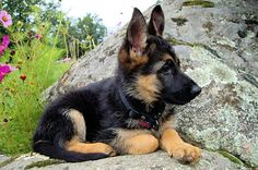 Training Your German Shepherd Dog - Champion Dogs Rottweiler, I Love Dogs, Cute Dogs, Gsd Puppies, Gsd Dog, German Shepherd Puppies, German Shepherds, Beautiful Dogs, Mans Best Friend