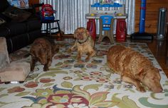 Ellis Farms Chesapeake Bay Retrievers - 3 happy girls (Autumn, Zoe & Ember) 2015 Chesapeake Bay, Happy Girls, Farms, Autumn, Dogs, Animals, Homesteads, Animales, Fall Season