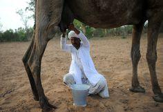 """En el oeste de la India, en el distrito de Gandhinagar, los habitantes de la región deben buscar distintas maneras de subsistir. Un grupo de ellos se decidió por """"ordeñar"""" camellos o dromedarios y vender la leche para poder tener un ingreso monetario en su hogar."""