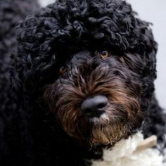 1st Dog Official Portrait:: Bo Obama in all his cuteness..