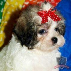 Mal-Shi puppy - Darlin' Dawson