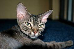 My Devon Rex Cat