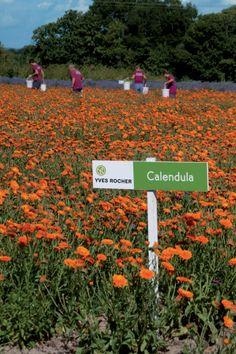 Organic Calendula fields in La Gacilly. #yvesrocher #beauty #LaGacilly #France