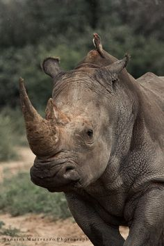 Khama Rhino Sanctuary is a land dedicated to the preservation of rhinos. The long-term goal of the sanctuary is to let the rhinos safely breed within its borders and re-introduce them into their natural wild habitats. Big Animals, Majestic Animals, Animals Images, Animals And Pets, Rhino Africa, White Rhinoceros, Save The Rhino, Baby Rhino, Save Wildlife