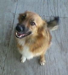 Bobs Teddy Bear is an adoptable Collie Dog in Quinlan, TX. Teddy Bear was a wander up to Bobs house...and���� he took great care of him.�� He was living indoors with their very tiny Chihuahua but Bo...