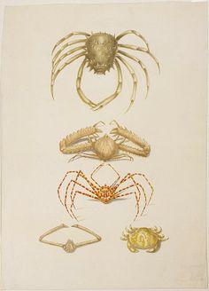 Watercolor triangular crabs (Micippe cristata, Lambrus longimanus, Egeria arachnoides, Lambrus Rumphii or L. lamelliger), crab (Atergatis floridus).  Maria Sibylla Merian: Leningrader Aquarelle. Leipzig, 1974. Bd.2. S.255. 1704–1705
