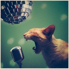 chat chanteur