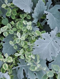 annual licorice(tiny leaves) and dusty miller  make great filler and contrast plants in the garden and containers.