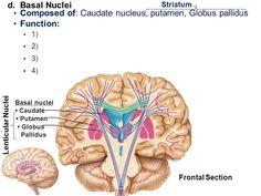 Image result for putamen function