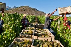 3 Regions Wine Tour from Cape Town As the 9th largest producer of Wine in the world, with 3.7% of the worlds' vineyards, South Africa delivers a high quality of produce of Old World and New World Wines.Whether for an education into South African wine, just a fun day of casual tasting or to enjoy the splendor of wine country, this tour has a captivating element for everyone.You will visit 3 of the major Wine Regions of the Cape, namely: Stellenbosch, Franschoek and Paarl.In the...