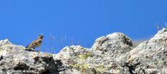 Le pipit spioncelle familier des pozzines en Corse
