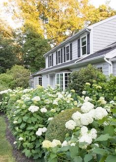 Great tip about keeping your hydrangeas (like these Annabelle hydrangeas) from getting too floppy! Pruning Hydrangeas, Hydrangea Landscaping, Front Yard Landscaping, Landscaping Ideas, Hydrangea Fertilizer, Hortensia Hydrangea, Hydrangea Care, Hydrangea Bouquet, Garden Front Of House