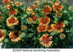 Blanket flower- growing tips and care...love these, they keep a bloom for a very long time.