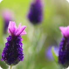 french lavender---love lavender, i wonder if the French kind smells the same :P