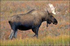 Moose, Alaska by spongecake
