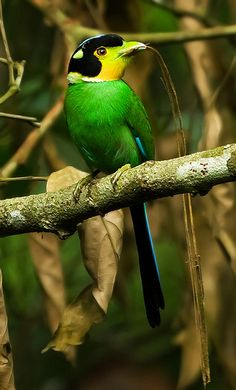 The Long-tailed Broadbill, Psarisomus Dalhousiae, is a species of Broadbill that is found in the Himalayas, S. E. Asia & Indonesia. It's the only bird in the genus, Psarisomus. The Long-tailed Broadbill is a forest bird that lives on insects. It's very sociable and normally travels in large, noisy parties except during the mating season. It builds a pear-shaped nest in a tree. The female usually lays between 5 and 6 eggs that are incubated by both sexes; both sexes also help to feed the…