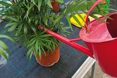 Palmy Watering Can, Canning, Conservation