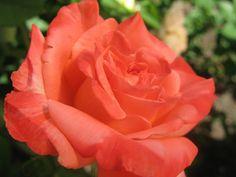 Rosa coral: Entusiasmo, desejo - Flores Jardim