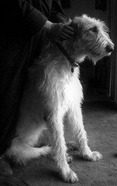 We Love Irish Wolfhounds