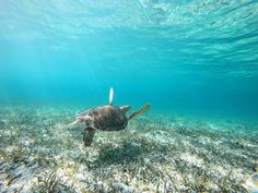Swimming with turtles in wildness. Gopro Hero, Nassau, Turtles, Underwater, Pirates, Wildlife, Swimming, Tours, Travel