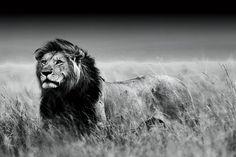 Foto op glas Olifant Deze zwart-wit foto van een mannetjes leeuw is een echte aanwinst voor uw interieur. Glazen wanddecoratie Gedetailleerd zwart-wit schilderij van een leeuw in het wild.