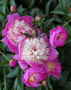 Paeony 'Bowl of Beauty