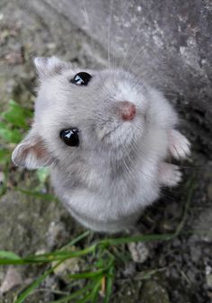 Things that make you go AWW! Baby Animals Super Cute, Cute Little Animals, Cute Funny Animals, Hamster Pics, Funny Hamsters, Robo Dwarf Hamsters, Cute Rats, Cute Animal Pictures, Animal Memes