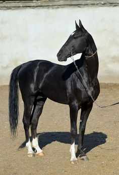 Karabek - Farm stud DACOR
