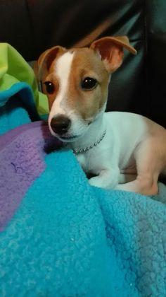 Die 3209 Besten Bilder Von Jacky In 2019 Doggies Dogs Und Jack