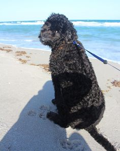 Toby #dog#beach #walking #cute #lookingback #goldendoodle #animal