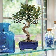 Bonsai for Beginners Bonsai Trees : More At FOSTERGINGER @ Pinterest ⚫️