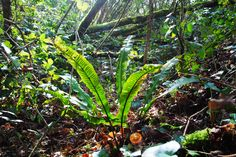 Asplenium scolopendrium (Phyllitis scolopendrium) / Tongvaren / Hart's tongue fern / Langue-de-cerf / Hirschzunge