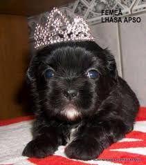 Resultado de imagem para lhasa preto Lhasa Apso, Pets, Animals, Animales, Animaux, Animal, Animais, Animals And Pets