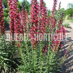 image de Echium russicum