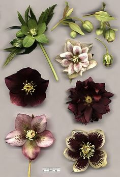 """The Hellebore or """"Christmas Rose."""" Another of our fave winter flowers. They'll be the first to - subtly - bloom in your garden. Christmas Flowers, Winter Flowers, Winter Plants, Christmas Decor, Types Of Flowers, Beautiful Flowers, Lenten Rose, Poisonous Plants, Bloom"""