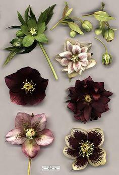 Poisonous Plants:  Hellebore species and hybrids: Helleborus viridis (top left); Helleborus foetidus (top right) with cross-section; flowers of various specimens of Helleborus × hybridus, including doubles.