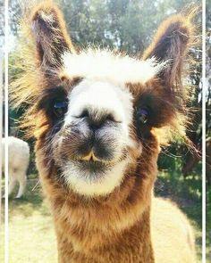 Cutee and funny alpaca xD Alpaca Vs Llama, Alpaca Plushie, Alpaca Funny, Cute Alpaca, Baby Alpaca, Llama Llama, Funny Llama, Funny Pets, Alpacas