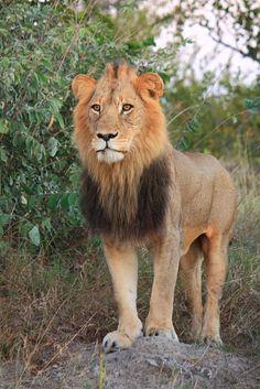 Young Lion male. Motswari Game Preserve.