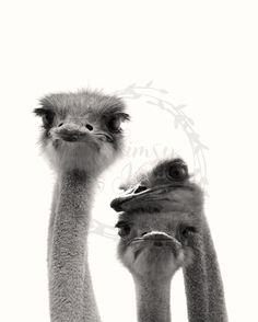 Ostrich Love 8x10