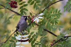 Wax wings and berries