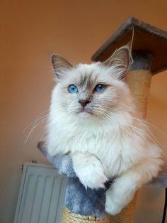 Luigi - Birman cat (Lilac point)