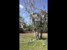 Women working! Falling small trees with Stihl 066 Magnum