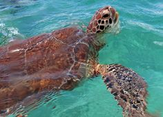 Snorkeling with sea turtles in Akumal Bay with Aventuras Mayas in the Riviera Maya.