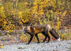 12 Facts About Cross Foxes | What Is a Cross Fox? What Is Melanin, Fox Breeds, Fox Information, Silver Foxes, Pet Fox, Am I Cute, Black Animals, Unique Colors, Dark Colors