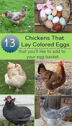 Chickens that lay colored eggs add another layer of fun and excitement to raising backyard chickens. White Chicken Breeds, Chicken Breeds For Eggs, Rare Chicken Breeds, Heritage Chicken Breeds, Blue Chicken Eggs, Chicken Egg Colors, Best Laying Chickens, Raising Backyard Chickens, Best Chickens For Eggs