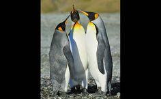 22/jan/2013 - Os pais de uma família destes pinguins passam cerca de 14 meses chocando o ovo e criando os filhotes. A cobertura grossa e aveludada destes filhotes os protege das temperaturas do inverno na ilha.