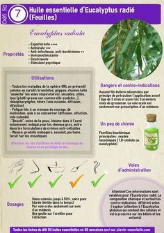 Huile essentielle d'eucalyptus radié : propriétés et utilisation sans danger (Eucalyptus radiata)