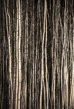 valscrapbook:  Birch 11 by Dan Newcomb Photography on Flickr.